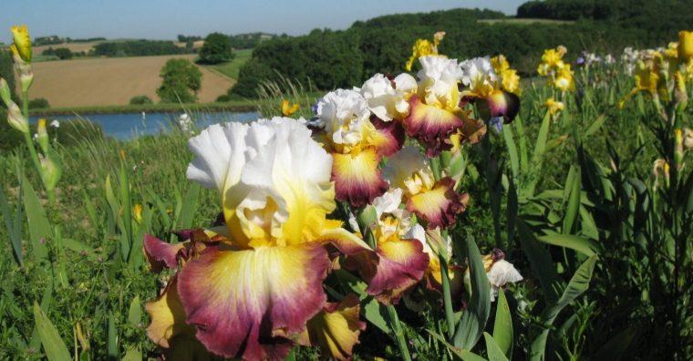 Illustration de l'article [ Lot-et-Garonne ] Au pays des iris